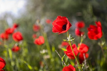 frailty: Red poppies
