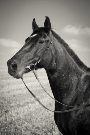 caballo negro: Retrato de caballo negro - Sepia - Vintage Style Foto de archivo