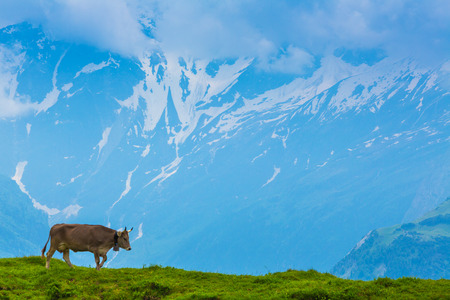 Grazing cow on a pasture with the background of swiss mountain cover with snowInterlaken - Lauterbrunnen photo