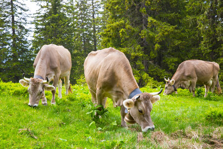 Swiss  Brown milk cows in a pasture in the alp forest, Switzerland Interlaken - Lauterbrunnen Selective Focus photo