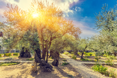 The Gethsemane Olive Orchard, Garden located at the foot of the Mount of Olives, Jerusalem, Israel. Stockfoto