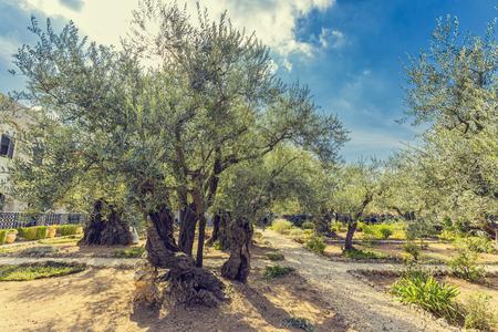 The Gethsemane Olive Orchard, Garden located at the foot of the Mount of Olives, Jerusalem, Israel. Standard-Bild