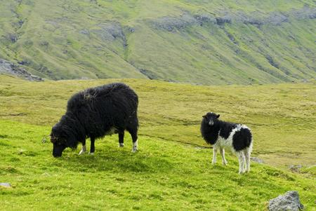 Black sheep zzand lamb looking to camera, Faroe Islands Standard-Bild - 105398035
