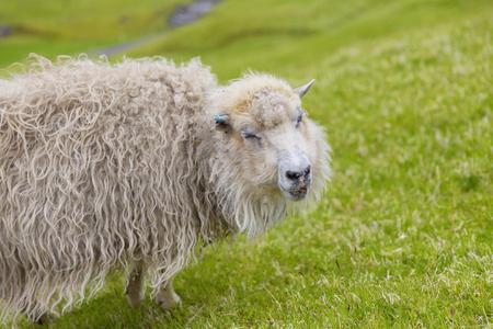 Portrait of Funny sheep, Smiling sheep, Faroe Islands Standard-Bild - 105398042