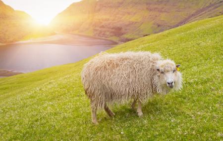 Sheep looking at camera, sheep In Faroe Islands Standard-Bild - 105398043