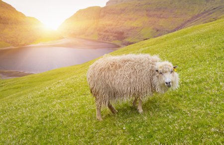 Sheep looking at camera, sheep In Faroe Islands