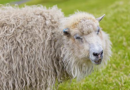 Portrait of Funny sheep, Smiling sheep, Faroe Islands Standard-Bild - 105398051
