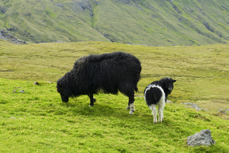 Black sheep zzand lamb looking to camera, Faroe Islands