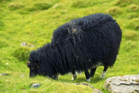 Black Sheep Grazing On Grass Field, Faroe Islands Standard-Bild - 105397980