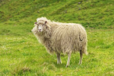Faroese sheep On Green meadow, looking at camera, Faroe Islands Standard-Bild