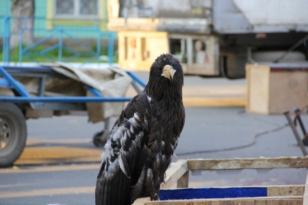 raptorial: Black eagle with white spots, in search of prey Stock Photo