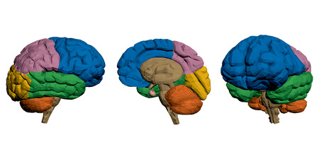 hemispheres: Vector illustration of a brain hemispheres separated by different colors. Isolated.