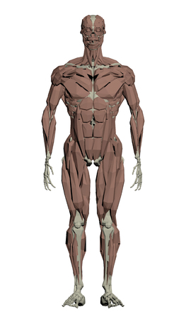 muscular: Vector illustration of the muscular structure of the person.
