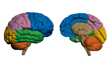 Vector illustration of a brain. The parts are painted in different colors. Polygon. 3D. Isolated.