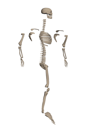 A human skeleton disassembled into bones for study. 3D. Side view. Vector illustration.