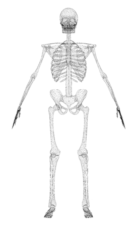 The polygonal skeleton of the person 3D. The outline of a human skeleton isolated on a white background. Front view. Vector illustration.