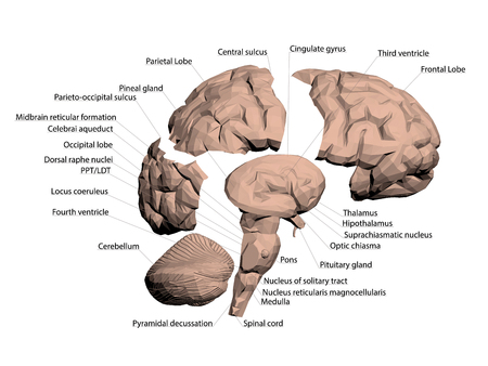 Structure of the human brain. All names that make up the brain are signed. The human brain is divided into several basic parts. 3D. Vector illustration.