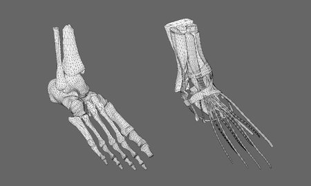 Human foot. Foot from the bones. The structure of the muscles of the human foot. Polygonal wireframe model. 3D. Vector illustration. Illustration