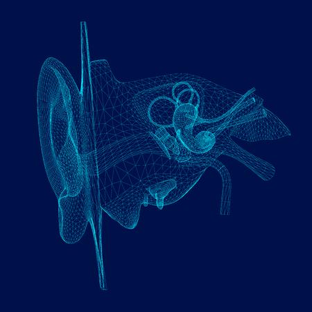 Wireframe de la structure interne de l'oreille humaine. 3D. Vue de face. Illustration vectorielle Vecteurs