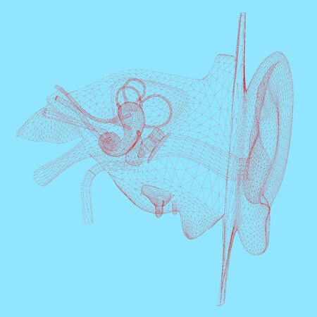 Wireframe of the human ear with internal organs. 3D. Vector illustration.