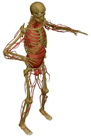 Human skeleton with blood vessels and internal organs. Polygonal model of the human skeleton. 3D. View isometric. Vector illustration Ilustração Vetorial