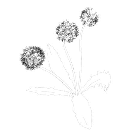 Dandelion contour isolated on white background. Vector illustration Ilustração