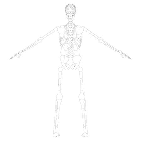 The contour of the human skeleton with raised hands. Back view. Vector illustration