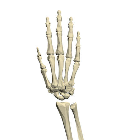 Low poly skeleton of human hand isolated on white background. 3D. Vector illustration Иллюстрация