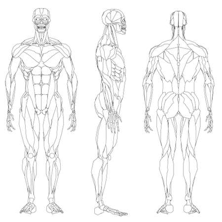 Set with contour of human musculature isolated on white background. Front, side and back views. Vector illustration