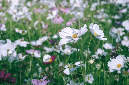 Weiße Kosmos Blume Mit Selektiven Fokus Im Garten Lizenzfreie Fotos ...