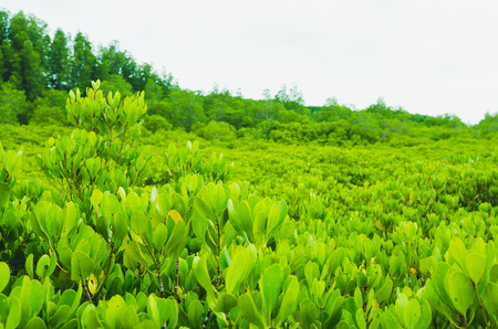 The mangrove field. Natural background of tree, Tung Prong Thong Golden Mangrove Field at Rayong province, Thailand