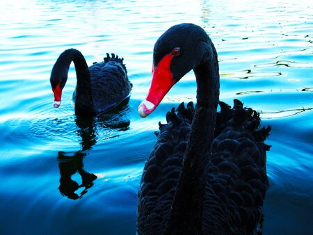 black swans Stock Photo - 9372296