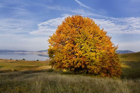 beautiful autumn single  tree near to Batak dam lake