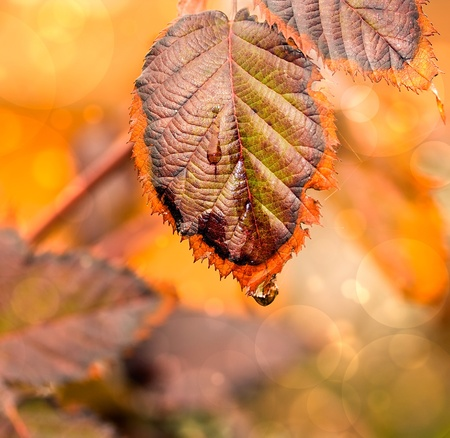 autumn scene: Autumn leaf with golden color in background