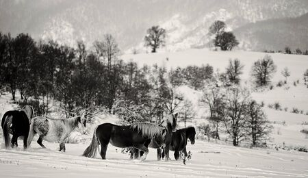 black and white winter horses landscape in bulgarian countryside photo