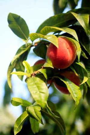 tree with fresh peach agains blue sky