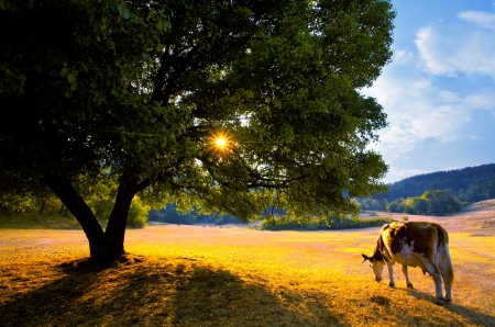 beautiful golden autumn landscape with cow in bulgarian farmland