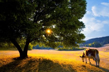 beautiful golden autumn landscape with cow in bulgarian farmland