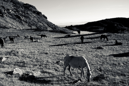 high contrated black and white landscape with several horses  photo
