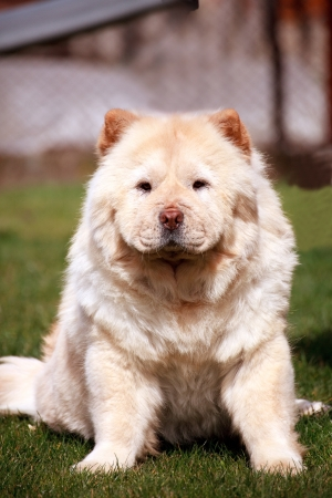 young chow chow dog on a green grass photo