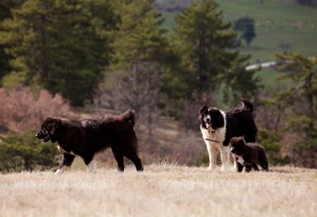 pupy: bulgarian sheep dog family with small pupy