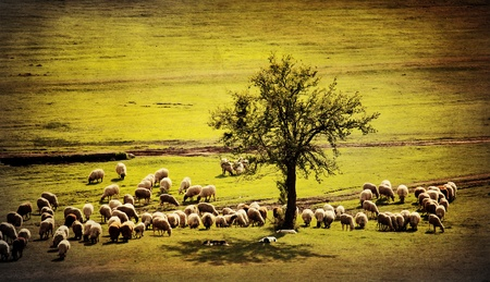 pastoral antique farmland background with sheep goat and several dogs photo
