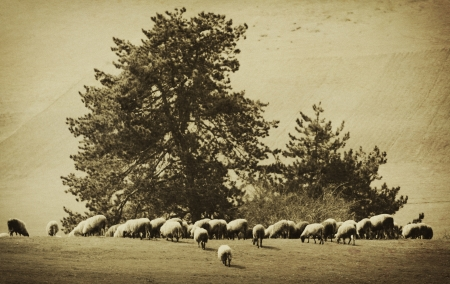 rural vintage agricultural farm background with many sheep
