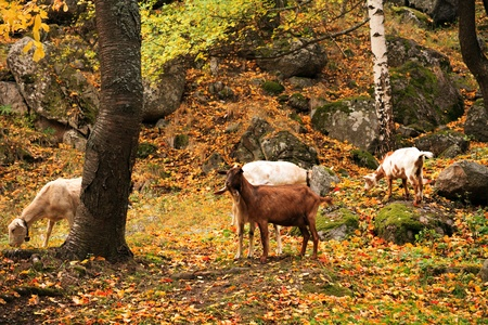wild goat: varios cabra salvaje en el bosque de oto�o dorado Foto de archivo