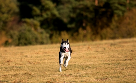 runing: young white dog runing in autumn field near forest