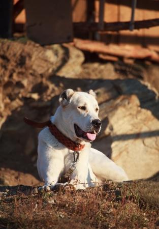 alabai: young alabai dog guard near village house