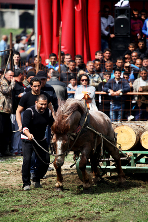 VARVARA, BULGARIA - MARCH 29, 2013: Man gives courage to his horse on traditional gipsy  horse towing games held each year in Varvara, Bulgaria