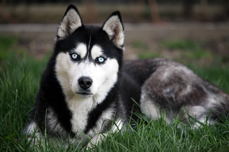 young femail husky dog in green meadows  photo