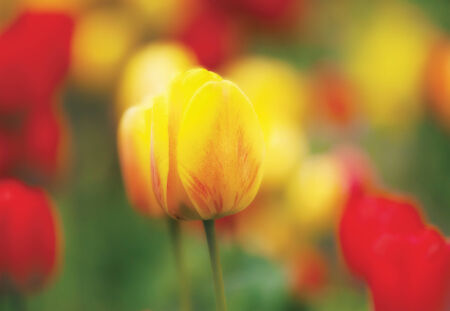 soft focused and colored flower with yellow and red tulip  photo