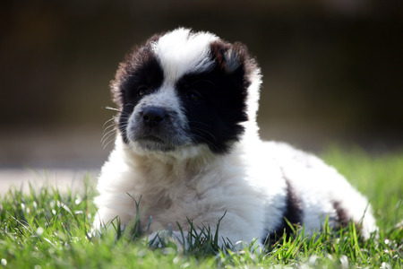 alabai: cute black and white young alabai baby dog in green spring meadows